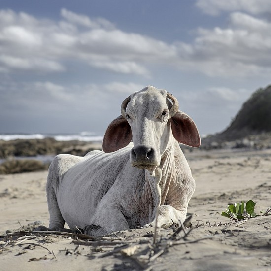 DANIEL NAUDE', XHOSA COW SITTING ON THE SHORE. MNENU RIVER MOUTH, EASTERN CAPE, SOUTH AFRICA, 4 DECEMBER 2019 2019, LIGHTJET C-PRINT