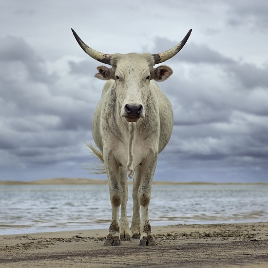 DANIEL NAUDE', XHOSA COW ON THE SHORE. KEI RIVER MOUTH, EASTERN CAPE, SOUTH AFRICA, 9 DECEMBER 2019 2019, LIGHTJET C-PRINT
